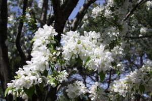 crab apple tree 002