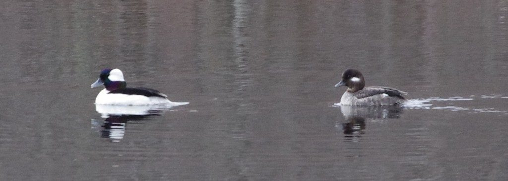 Bufflehead pair (1)